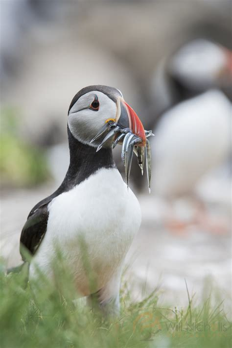 how to photograph puffins nature ttl
