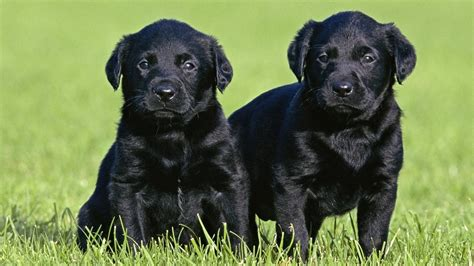 black labs puppies animaux vilnius