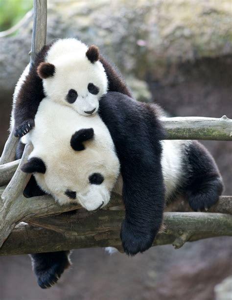 images of panda bears best 25 panda bears ideas on bears
