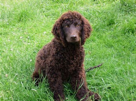 water breeds american water spaniel puppies rescue pictures information temperament