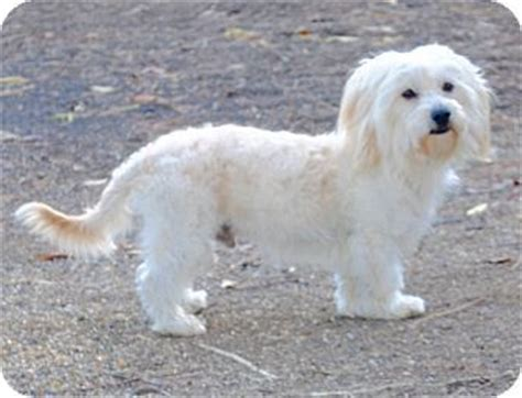 facts about havanese die besten 78 bilder zu dogs need to be adopted havanese cotons maltese