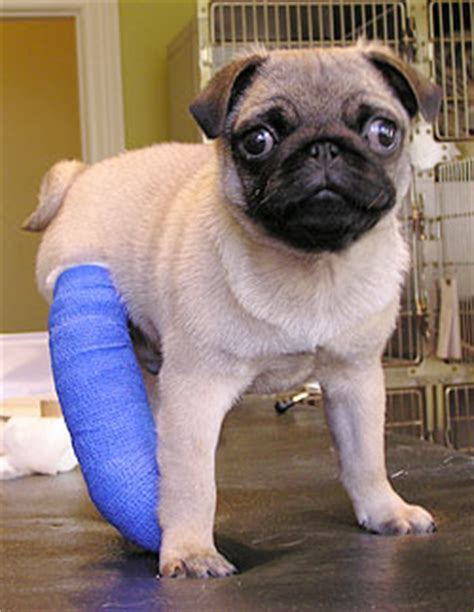 puppy broken leg the vets greenwoods corner epsom dogs general health