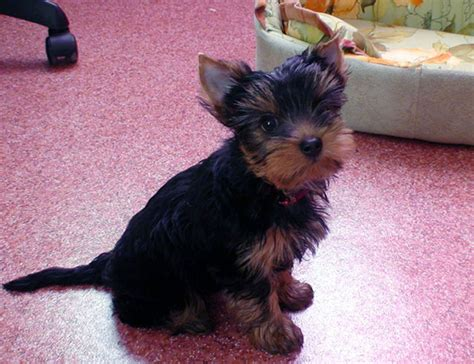 facts about yorkie interesting yorkie facts from the imaginary federation of world wide dogs
