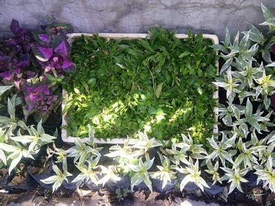 Bibit Bunga Gumitir tanaman rumput tanamanbaru