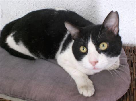 imagenes en blanco y negro gatitos homero busca un hogar adoptado