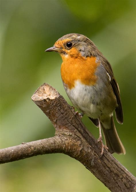Robin Nw Robin Web 1 Northwest Ecological Trust