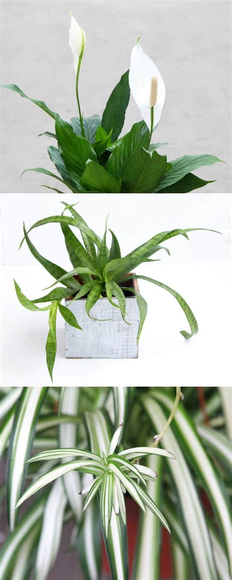 easy air purifying indoor plants  beauty
