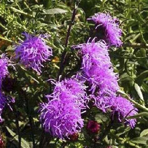 fall blooming plants zone 5 blazing star liatris scariosa 7 fall blooming
