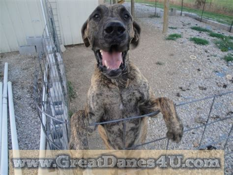 great dane puppies mn great dane puppies mn for sale breeds picture