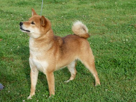 shiba inu puppies colorado well bred shiba inu puppies boston lincolnshire pets4homes