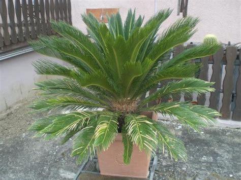 cycas revoluta kaufen palmfarn cyca revoluta in hambr 252 cken pflanzen kaufen und