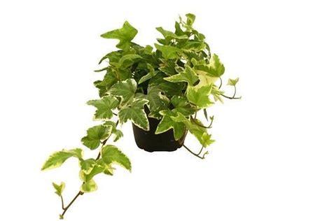 edera in casa edera consigli pratici per una pianta rigogliosa