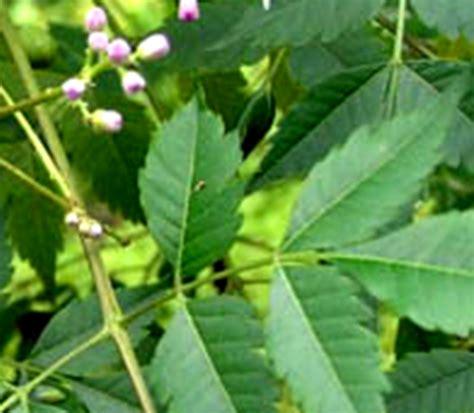 Bibit Pohon Okra dasar dasar perlindungan tanaman pengendalian gulma