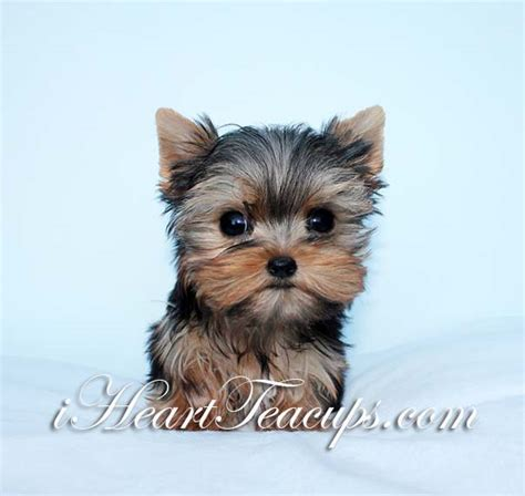 what age is a yorkie puppy grown cobby tiny teacup yorkie puppy quot shorty quot for sale iheartteacups