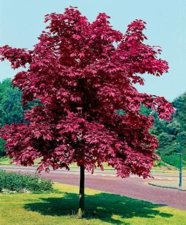 maple tree zone 4 crimson king maple acer platanoides crimson king zone 4 medium tree 1 fall color