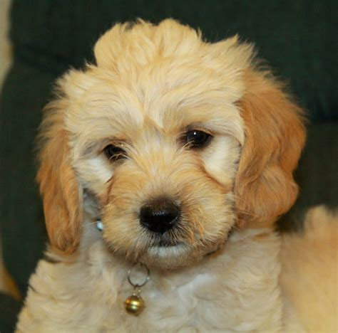 doodle puppies for sale ontario canada labradoodle 5 puppies for sale dogs for sale in