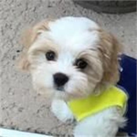 havanese king charles mix the cavaliers king charles spaniels and charles spaniel on