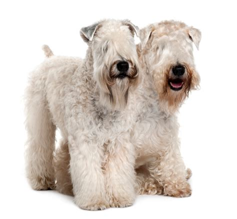 Soft Coated Wheaten Terrier Shedding by 9 Breeds