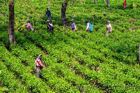 harvesting plantations in tarkeeth state home banglaholiday