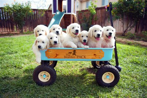 golden retriever puppies for sale in southern california golden retriever puppies for sale the bearden pack