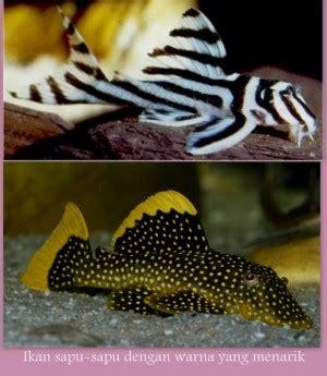Ikan Pembersih Kaca ikan sapu sapu pembersih alami aquarium oleh claudy yusuf