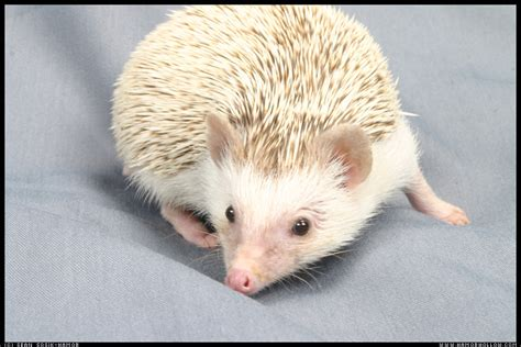 hedgehog colors hamor hollow s color guide hamor hollow hedgehogs