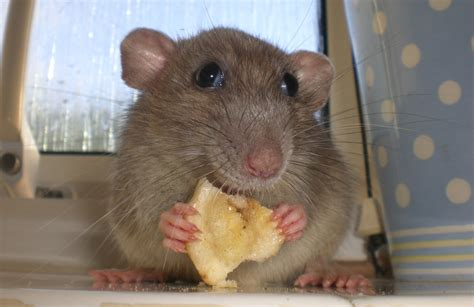 sad lonely lady rats may really eat their feelings