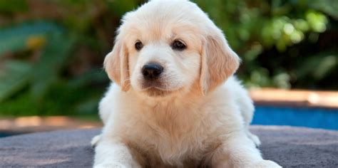 best puppies for toddlers the 11 best dogs for children