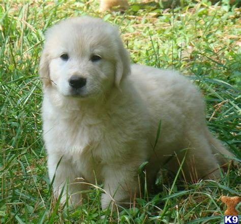golden retriever puppies michigan golden retriever breeders in michigan freedoglistings breeds picture