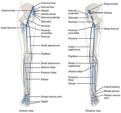 lower extremity diagram lower leg veins anatomy human anatomy diagram