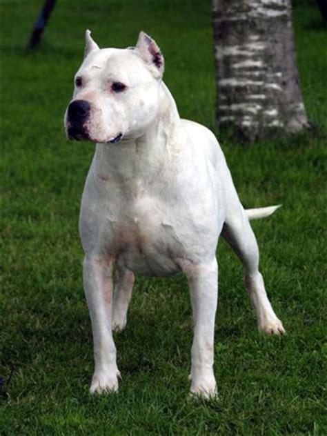dogo breed dogo argentino names of dogo argentino breeds index