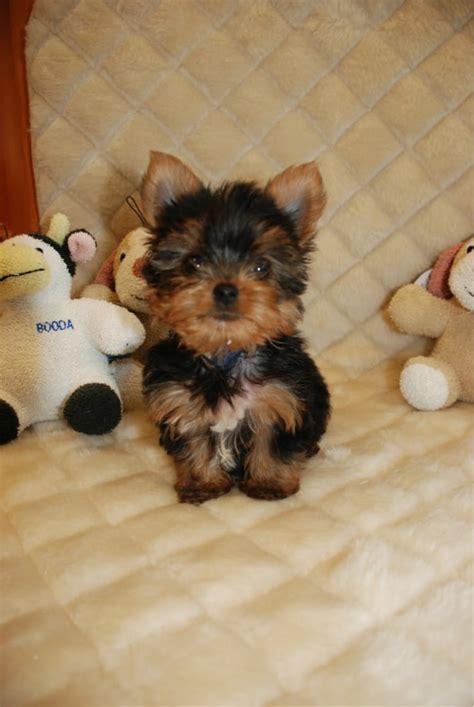worldwide puppies worldwide puppies kittens bellmore ny united states yelp