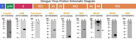 e protein dengue dengue virus antibodies news genetex inc