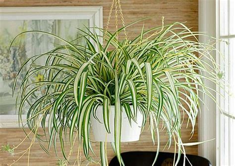 spider plant low light 10 house plants to destress your home pollennation