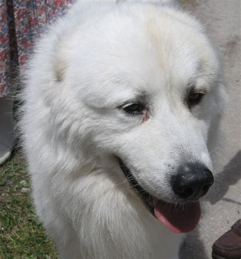 pictures of great pyrenees puppies great pyrenees photo and wallpaper beautiful great pyrenees pictures