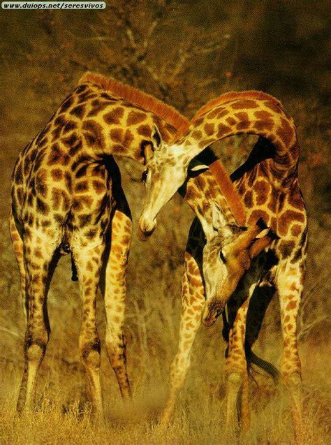 imagenes de jirafas grandes fotos de jirafas