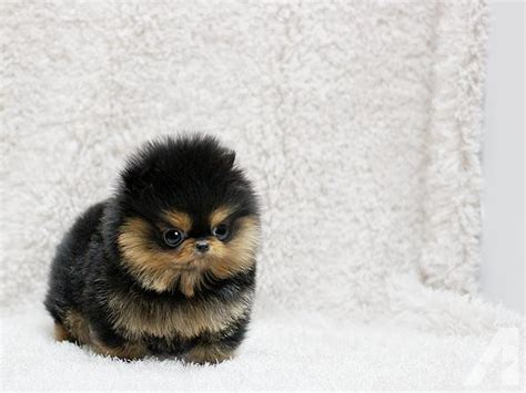adopt a teacup pomeranian teacup pomeranian puppies for adoption for sale in jacksonville florida classified