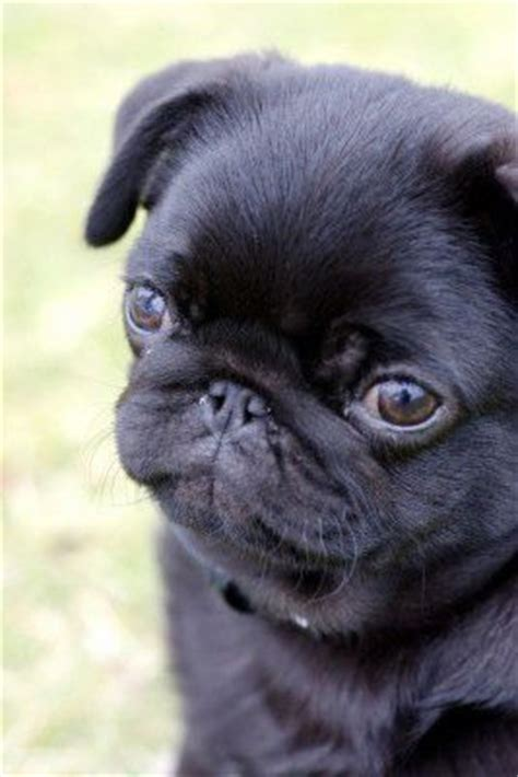 how much is a baby pug 17 best images about all things pug on pug brindle pug and pug