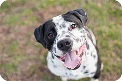 setter bulldog mickey adopted dog encino ca english setter english
