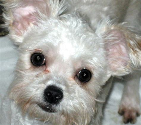 shih tzu chi mix chihuahua shih tzu terrier mix www pixshark images galleries with a bite