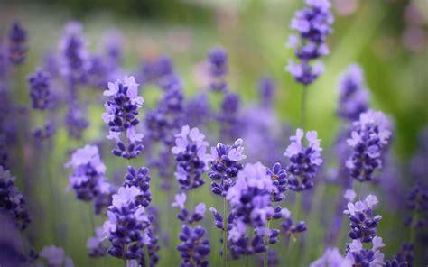 lavender wallpaper wallpaper