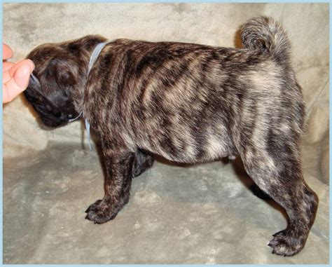 brindle pug puppies for sale brindle pug puppies for sale 5752751jpg breeds picture