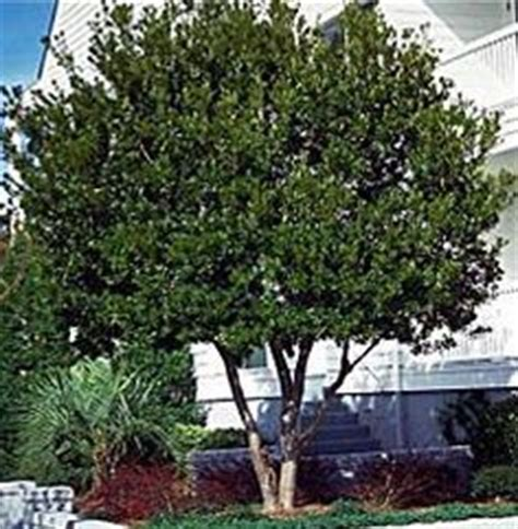 shade trees for small backyards 25 best ideas about small ornamental trees on pinterest small garden trees