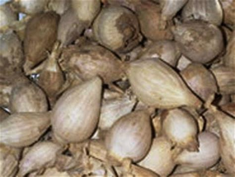 Tanaman Obat Bawang Lanang foto tanijogonegoro herbal tanaman