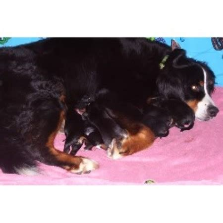 bernese mountain breeders pa bernese mountain breeders in pennsylvania freedoglistings models picture