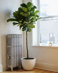 Fiddle Leaf Fig by Considering The Fiddle Leaf Fig Gardenista