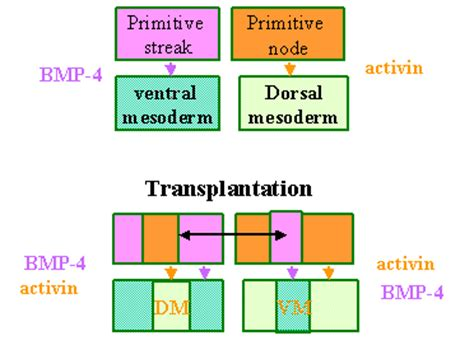 pattern formation determinant pattern formation in the embryo
