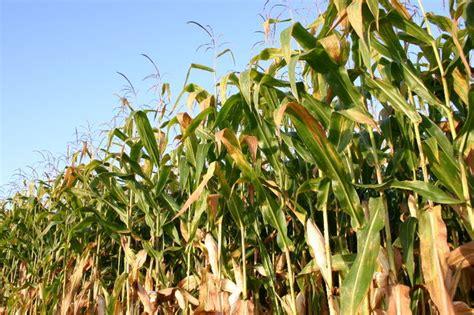 Tanam Jagung Pakan Ternak cara pembuatan silase jerami jagung