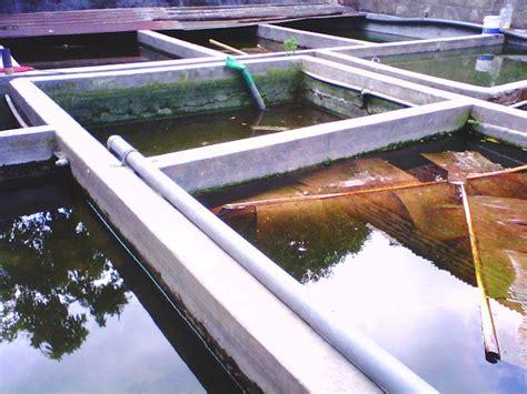 Cara Ternak Kutu Air Untuk Pakan Ikan Cupang cara ternak ikan cupang cupang hias grosir betta splendens