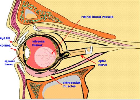 cross section of the human eye eye cross section